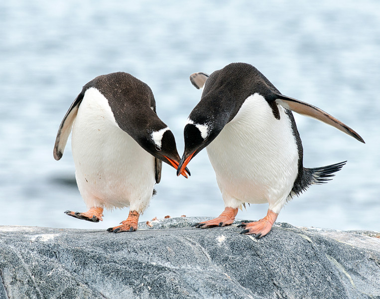 Two Gentoo penguins showing their affection on Wiencke Island.