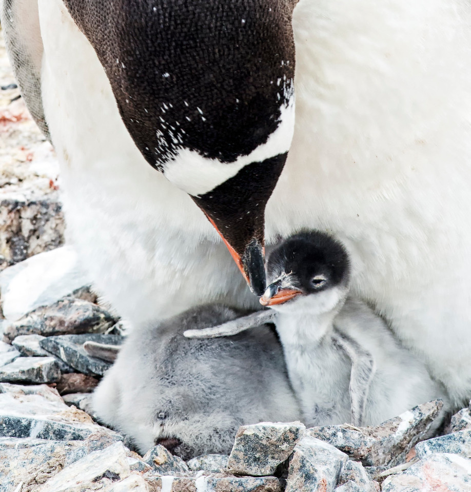 Parent and baby Gentoo in Kinnes Cove on Joinville Island.