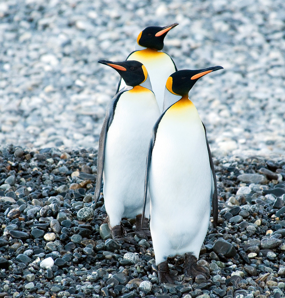 Trio of King Penguins on South Georgia Island.