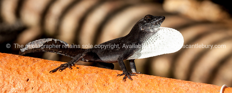 """Black Anole,lizard, with defensive white pouch puffed up.<br /> <br /> Prints & downloads.                also see;  <a href=""""http://www.blurb.com/b/3586795-cuba"""">http://www.blurb.com/b/3586795-cuba</a>"""