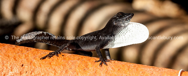 Black Anole,lizard, with defensive white pouch puffed up.  Prints & downloads.                also see; www.blurb.com/b/3586795-cuba