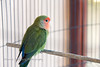 Caged lovebird (parrot, Agapornis species)