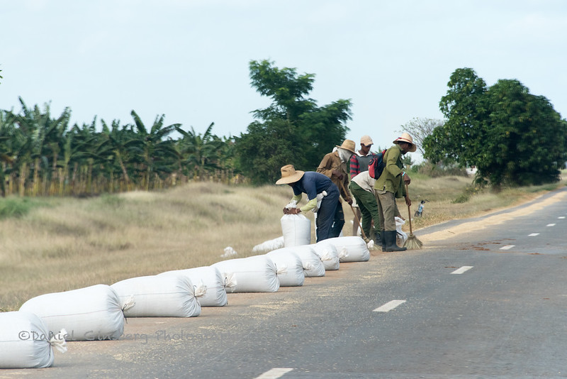 Drying rice on the side of the road.