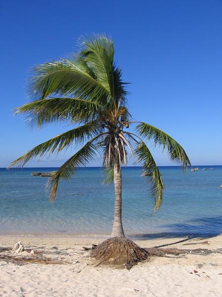 Palm tree on beach in Trinidad, Cuba