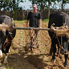 Cuban farmer smokes his cigar while his ox-drawn plough tills  tabacco field at  Montesinos Tabacco Farm, Soroa, Cuba