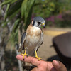 Young falcon in Manaca Iznaga, Cuba - April 7, 2016