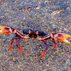 Female land crab on migration from the forest to the beach near Playa Girón to lay eggs.