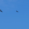 Turkey vultures in flight, we saw these all over the countryside.