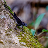 A lizard seen on our hike to Salto del Caburni in Topes de Collantes protected area.