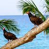 Turkey vultures near Playa Girón.