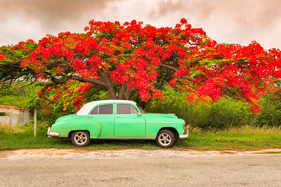Green Chevrolet American classic car parked in front of a vibrant red flame tree (also flamboyant tree)