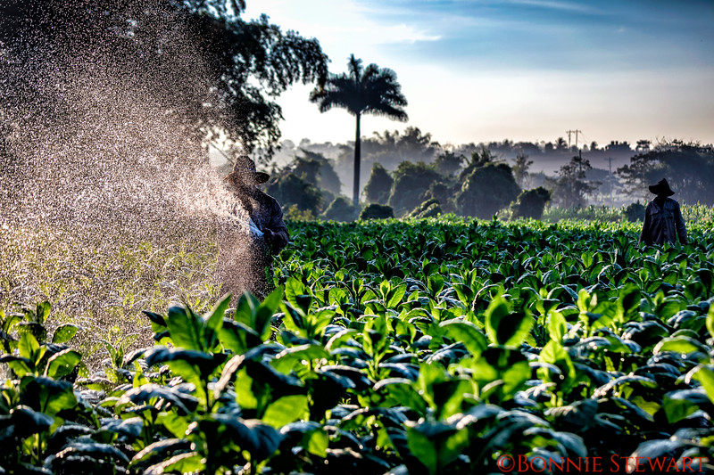 Watering the tobacco in the early morning