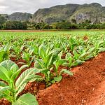 Tobacco Plantation - Vinales Valley, Cuba