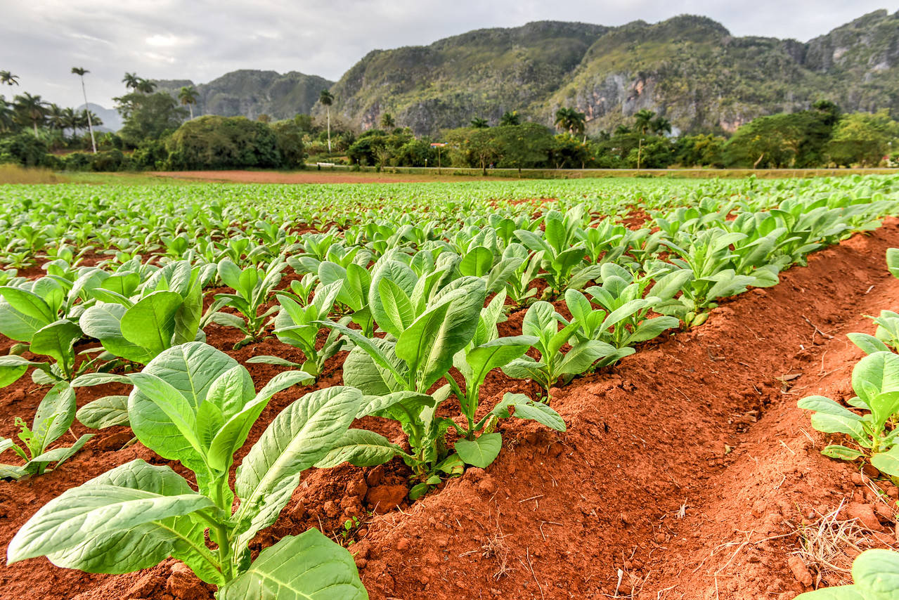 Tobacco Plantation - Vinales Valley, Cuba