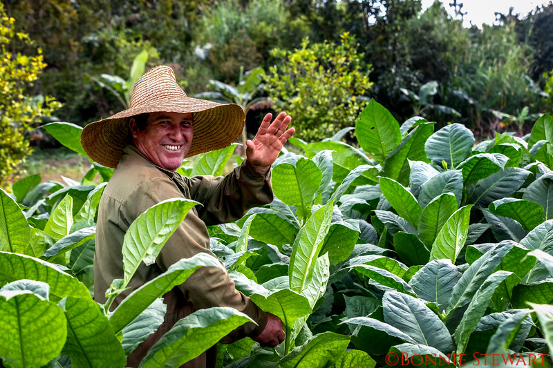 Working in the tobacco fields