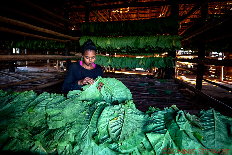 Sorting the tobacco leaves