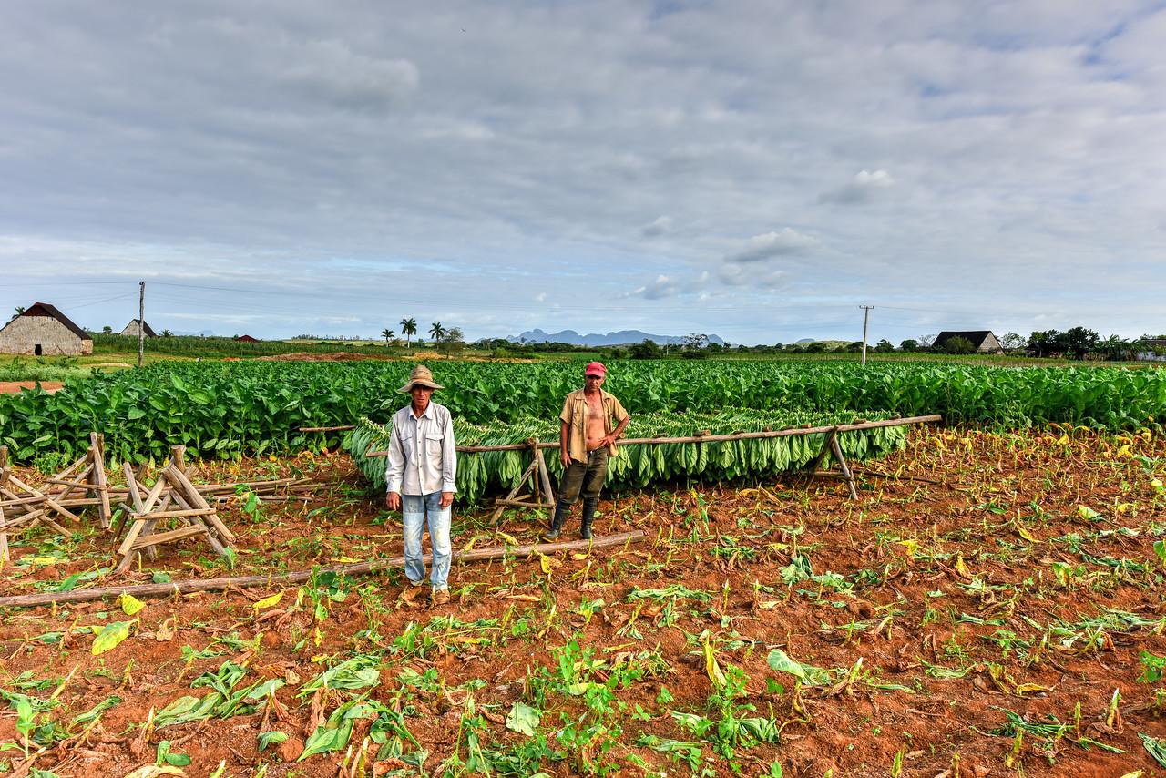 Tobacco Field - Vinales Valley, Cuba