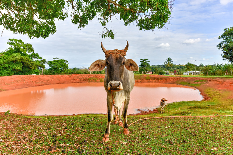Cuban Cow
