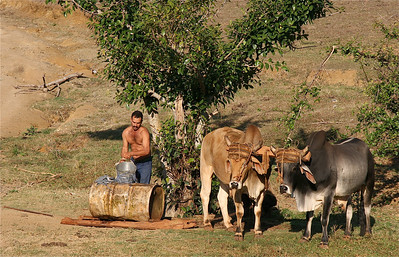 Ossen in Valle de Vinales. Cuba.