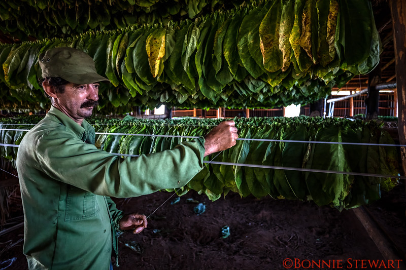 Putting up lines to dry the tobacco in the bar