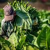 Picking tobacco