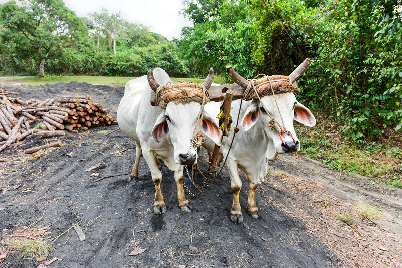 Cuban Cow