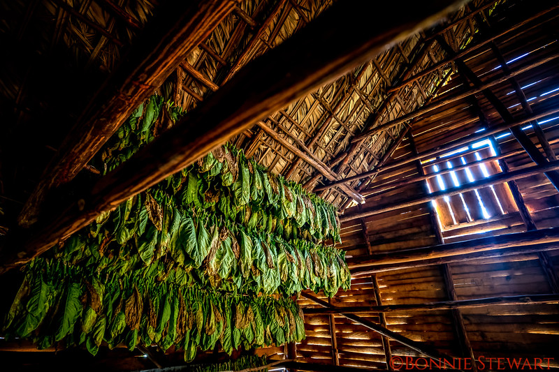 Tobacco leaves drying in the barn