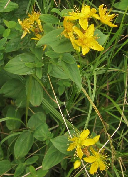 Mountain St. Johnswort (Hypericum graveolens)