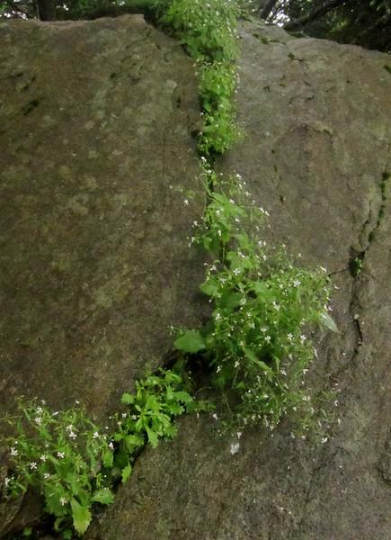 Michaux's Saxifrage (Saxifraga michauxii)