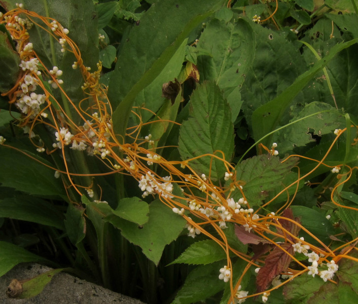 Dodder (Cuscuta spp.)