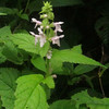 Clingman's Hedgenettle (Stachys clingmanii)