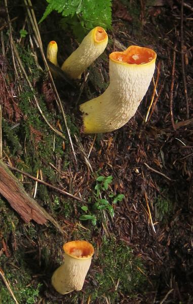 Scaly Vase Chanterelle (Gomphus floccosus)