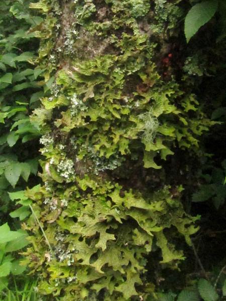 Oak Leaf lichen (Lobaria pulmonaria), Common Greenshield lichen (Flavoparmelia caperata) & Old Man's Beard lichen (Usnea barbata)