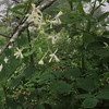 Mountain Meadow Rue (Thalictrum clavatum)