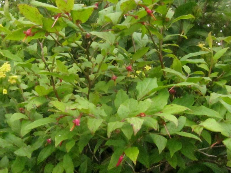 unknown red-flowered bush