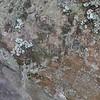 Old Man's Beard lichen (Usnea hesperina)