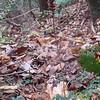 Downy Rattlesnake-plantain (Goodyera pubescens)