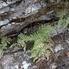 Fragile Fern (Cystoperis tenuis)
