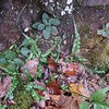 Walking Fern (Aspelenium rhizophyllum)