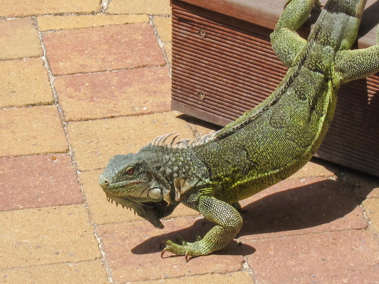 Iguana returning from the bar, Lions Dive & Beach Resort Curaçao - February 2013