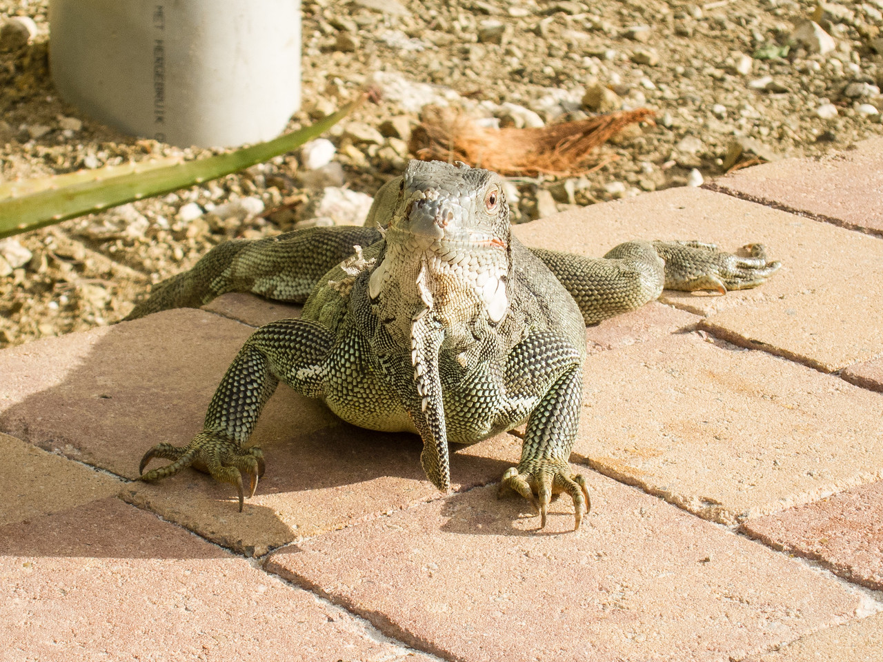 Iguana eye-balling me at Lions Dive & Beach Resort Curaçao - February 2013