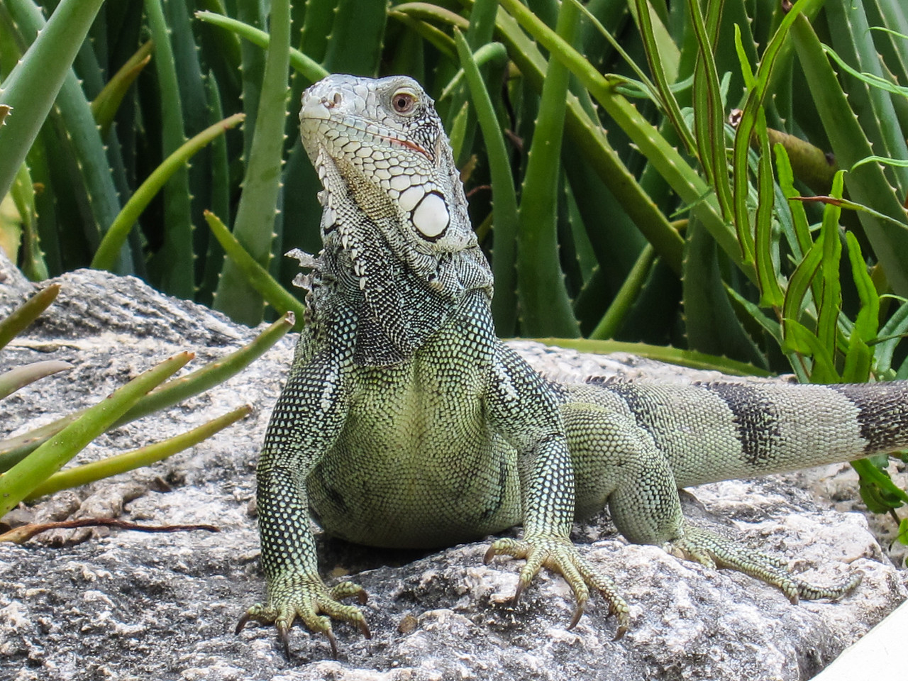Iguana at Lions Dive & Beach Resort Curaçao - February 2013