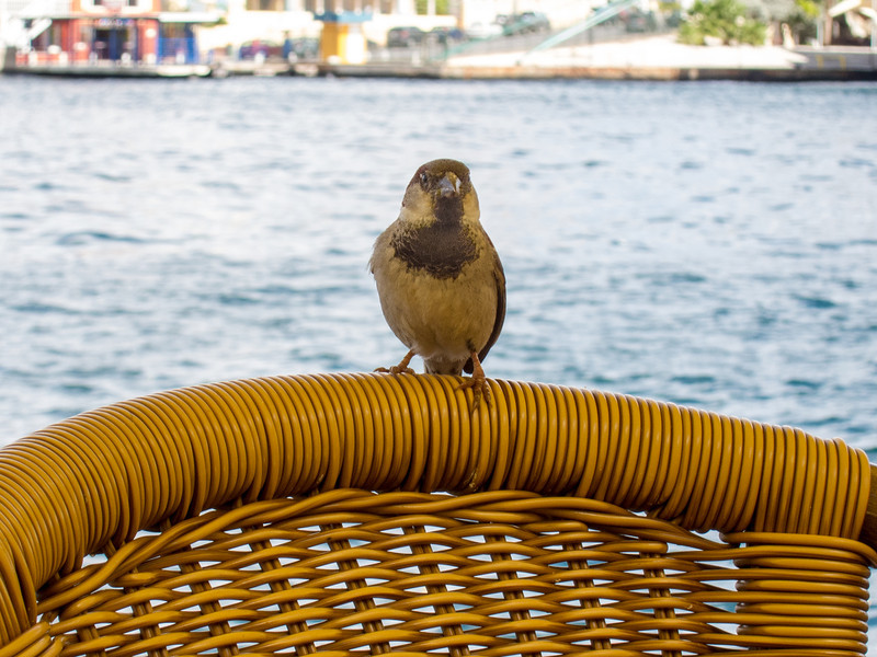 Lunch-time companion in Willemstad, Curaçao - February 2013