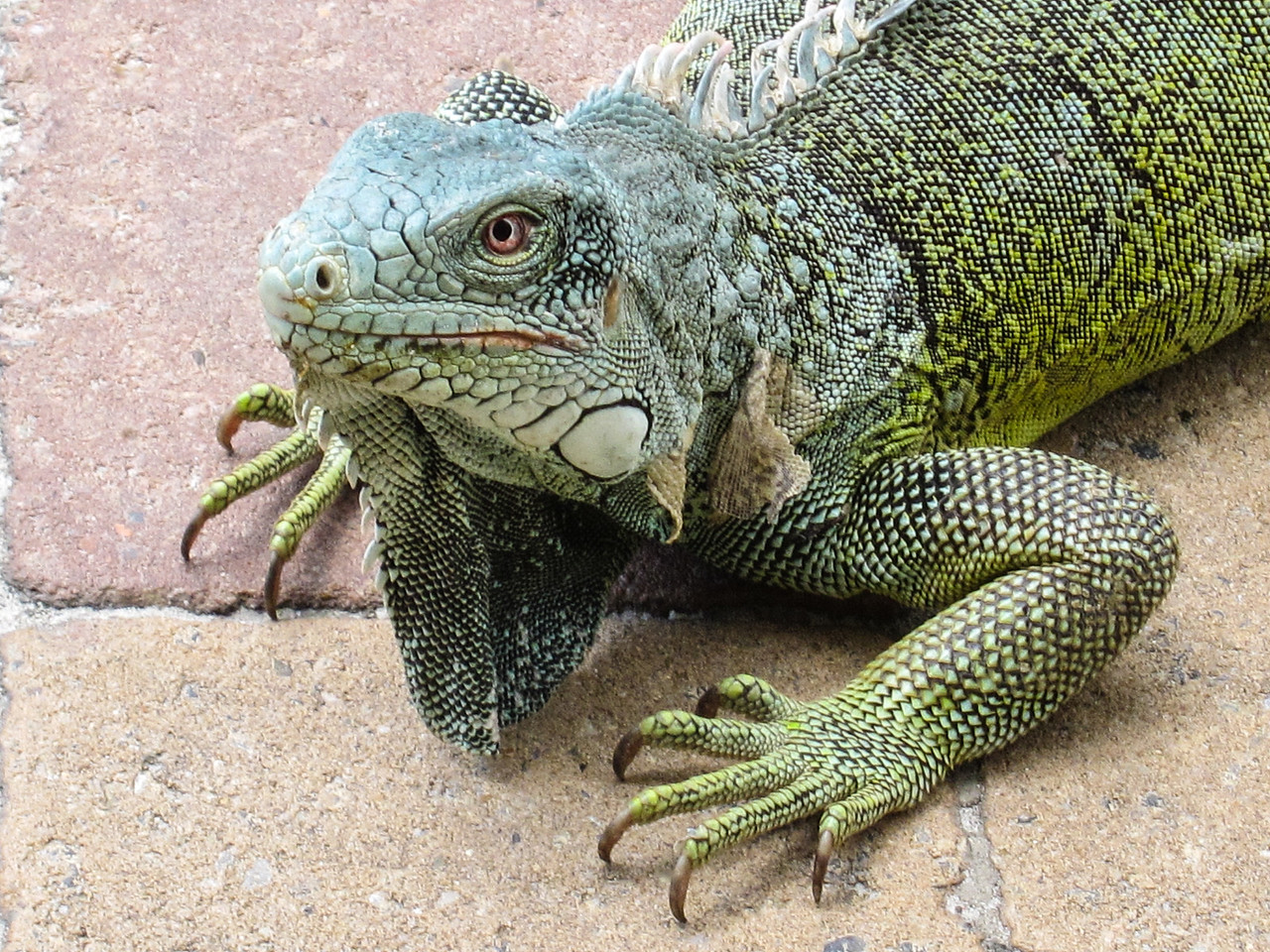 Close-up of Iguana, Lions Dive & Beach Resort Curaçao - February 2013