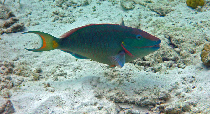 Parrot fish in Bonaire