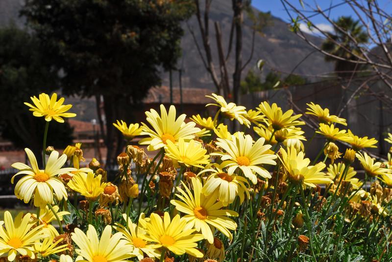 Margaritas - Plaza de Armas - Calca - Valle Sagrado de los Incas - Cusco - Perú<br /> <br /> Daisies - Plaza de Armas - Calca - Valle Sagrado de los Incas - Cusco - Peru<br /> <br /> Margrieten - Plaza de Armas - Calca - Valle Sagrado de los Incas - Cusco - Peru<br /> <br /> Marguerites - Plaza de Armas - Calca - Valle Sagrado de los Incas - Cusco - Pérou