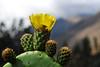 Cactus a orillas del Río Vilcanota - Calca - Valle Sagrado de los Incas - Cusco - Perú<br /> <br /> Flowering cactus along the Vilcanota river - Calca - Valle Sagrado de los Incas - Cusco - Peru<br /> <br /> Bloeiende cactus langs de Vilcanota rivier - Calca - Valle Sagrado de los Incas - Cusco - Peru<br /> <br /> Cactus en fleur le long de la rivière Vilcanota - Calca - Valle Sagrado de los Incas - Cusco - Pérou