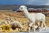 ¿Llamita o alpaca? (Ayacucho - Perú)<br /> <br /> Lama or alpaca? (Ayacucho - Peru)<br /> <br /> Lama ou alpaca? (Ayacucho - Pérou)<br /> <br /> Lama of alpaca? Het zal lekkere worst wezen (Ayacucho - Peru)