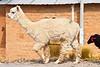 Seguido par la obeja negra (Ayacucho - Perú)<br /> <br /> Followed by the black sheep of the family (Ayacucho - Peru)<br /> <br /> Suivi par la mouton noir de la famille (Ayacucho - Pérou)<br /> <br /> Gevolgd door het zwart schaap ... (Ayacucho - Peru)