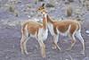 Vicuñas pero lamentablemente ni tengo una buena foto, muy veloces son (Pampas Galeras - Ayacucho - Perú)<br /> <br /> Two vicuñas but unfortenately I don't have a single sharp shoot of those flashing cameloids (Pampas Galeras - Ayacucho - Peru)<br /> <br /> Deux vigognes mais je n'ai malheureusement aucune photo nette de ces caméloïdes véloces (Pampas Galeras - Ayacucho - Pérou)<br /> <br /> Twee vicuñas, helaas geen enkele scherpe foto van deze pijlsnelle kameelachtige (Pampas Galeras - Ayacucho - Peru).